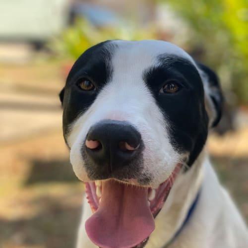 Snoop - Border Collie Dog