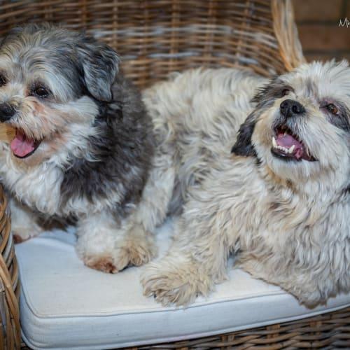 Bubba & Missy - Maltese x Shih Tzu Dog