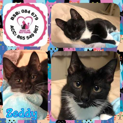 Zeddy - Domestic Short Hair Cat
