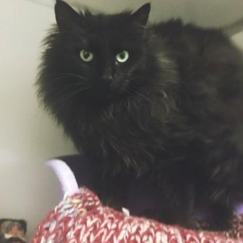 Leanna (95597) - Domestic Medium Hair Cat