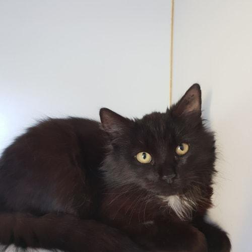 Indah - Domestic Medium Hair Cat