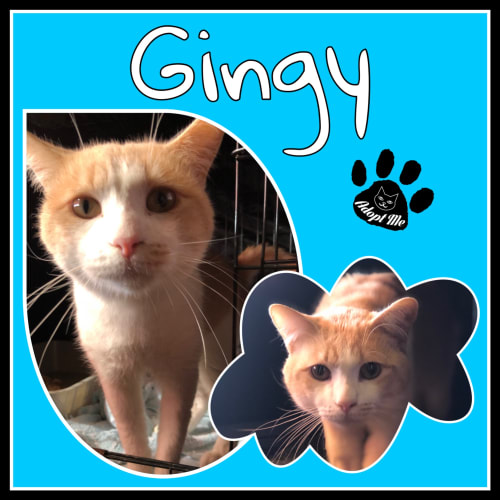 Gingy - Domestic Short Hair Cat