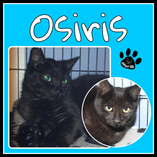 Osiris - Domestic Short Hair Cat