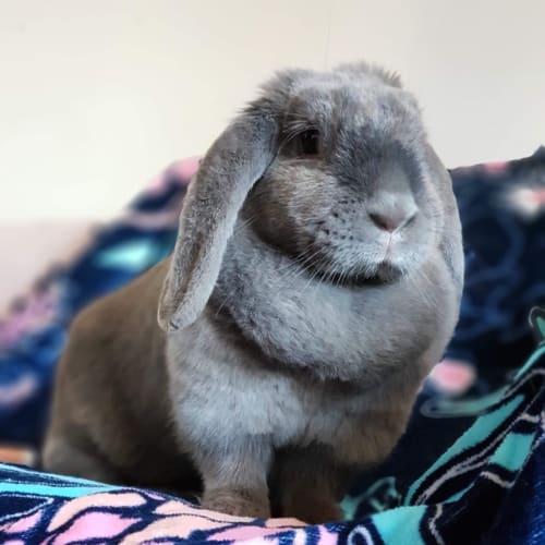Flip - Lop Eared Rabbit