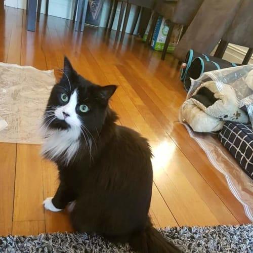 Juliette - Domestic Medium Hair Cat