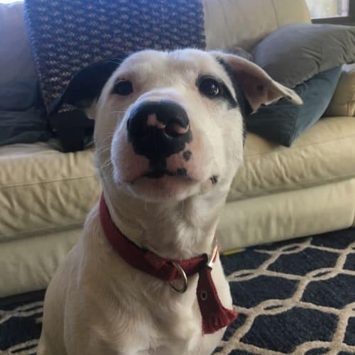 Jack - Foster me - Border Collie x Bull Terrier Dog