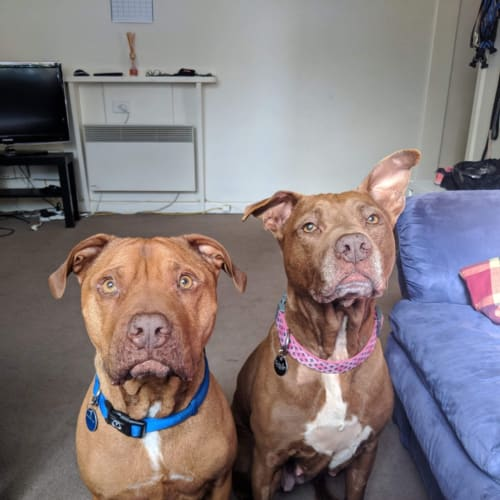 Harley Rose & Marvel - American Staffordshire Terrier Dog