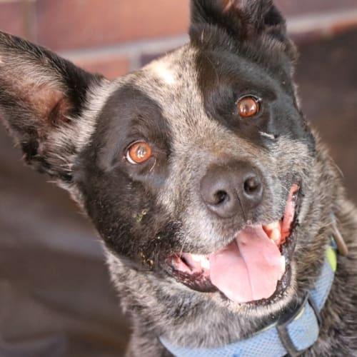Zeus - Blue Heeler Dog