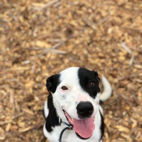 Phoebe - Border Collie x Mixed Breed Dog