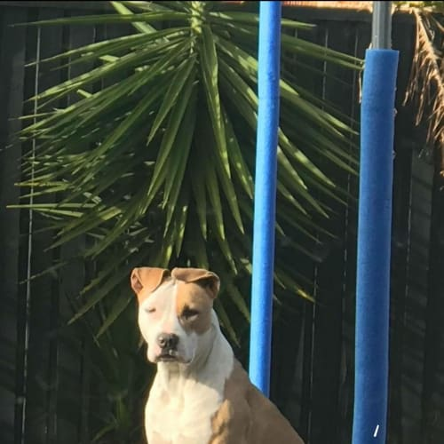 Frankie - Amstaff Dog