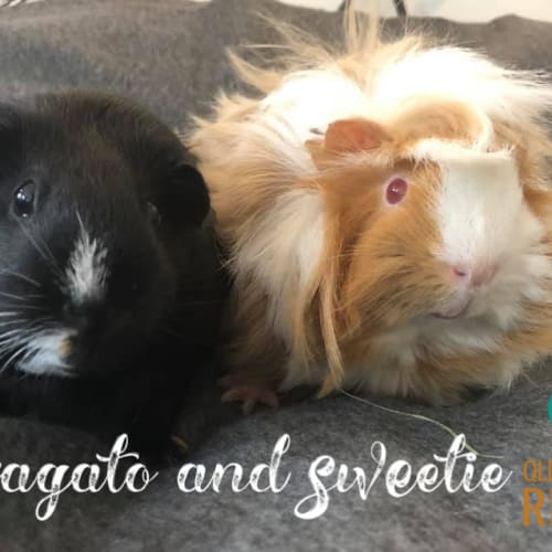 Affogato (desexed male) and Sweetie - Abyssinian x Smooth Hair Guinea Pig