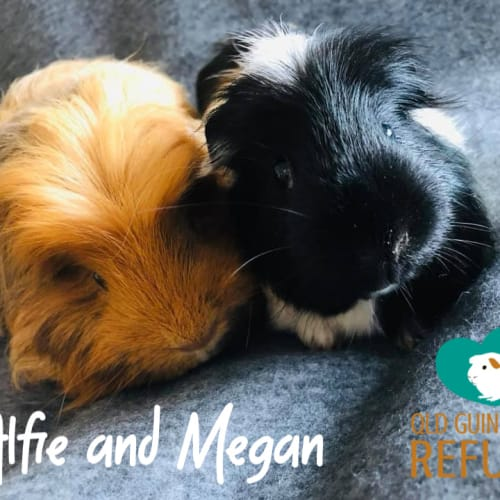 Alfie (desexed male) and Megan - Sheltie x Smooth Hair Guinea Pig