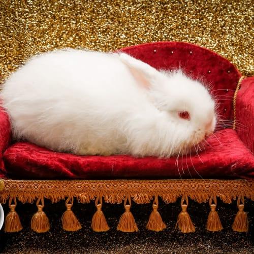 Greyson - Angora x Dwarf lop Rabbit