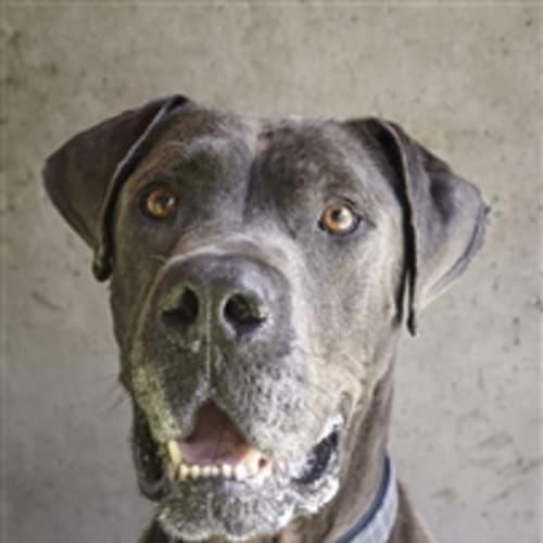 Butch - Great Dane Dog