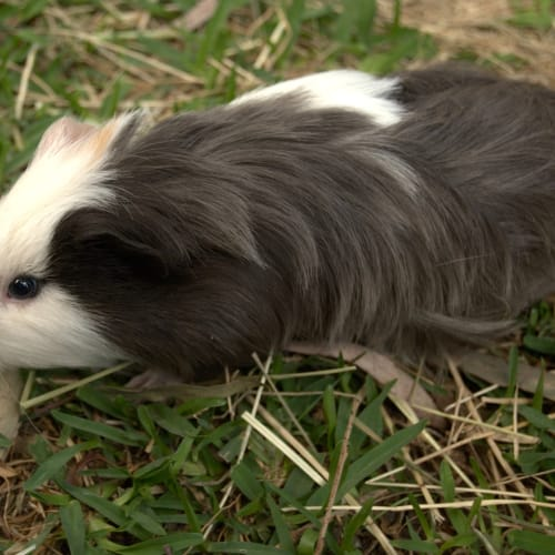 Benji - Sheltie Guinea Pig