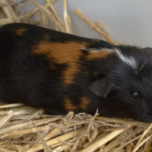 Thistle and Tulip - Sheltie Guinea Pig