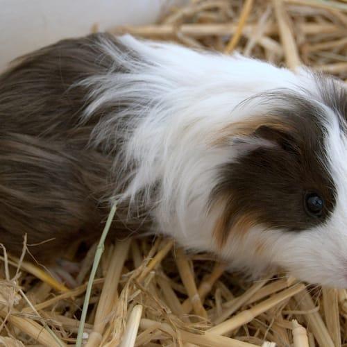 Marge - Sheltie Guinea Pig