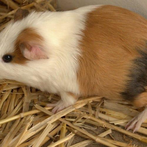 Shimmy  - Sheltie Guinea Pig