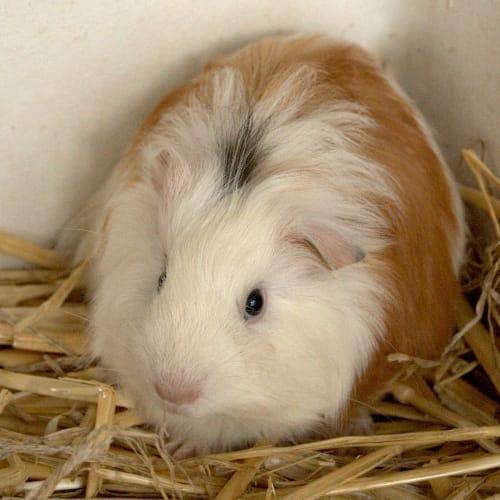Rocco - Sheltie Guinea Pig