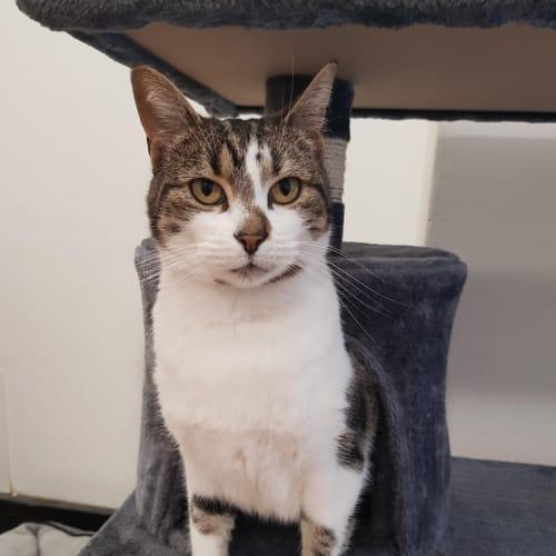 Mimi - Domestic Short Hair Cat
