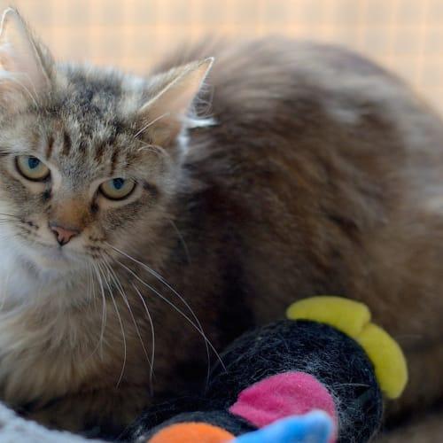 Tuna - Domestic Short Hair Cat