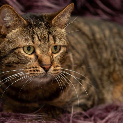 Tiger - Bengal x British Shorthair Cat