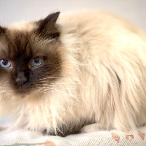 Elliot - Ragdoll Cat