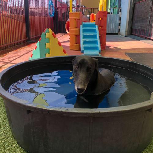 Jerry  - Greyhound Dog