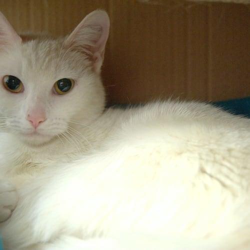 Yvette - Domestic Short Hair Cat