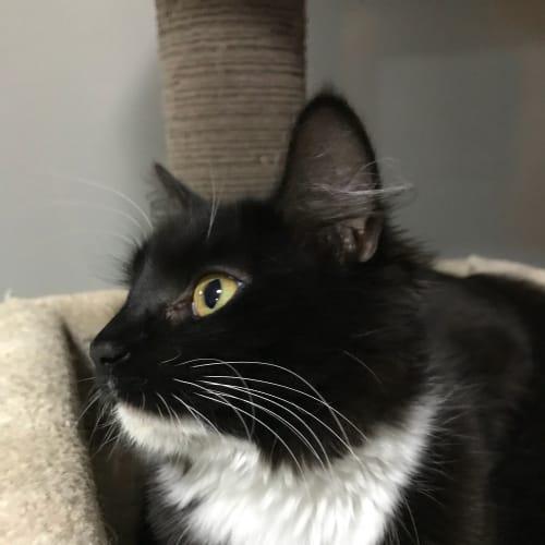 Selina Kyle - Domestic Medium Hair Cat