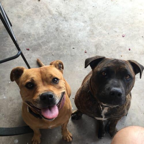Arnie & Layla - Staffordshire Bull Terrier Dog