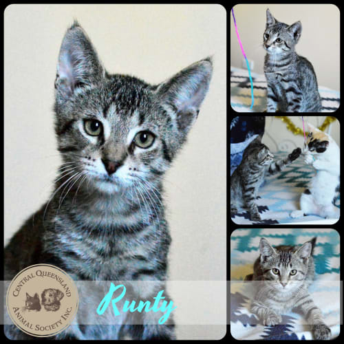Runty - Domestic Short Hair Cat