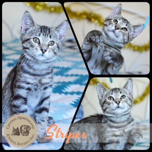 Stripes - Domestic Short Hair Cat