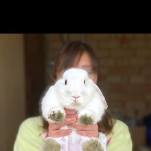 Snowy - Mini Lop Rabbit
