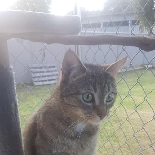 Ivy $50 - Domestic Short Hair Cat