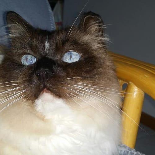 Dexter - Ragdoll Cat