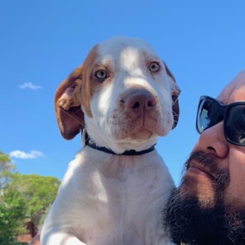 Boomer - German Shorthaired Pointer x Bull Arab Dog
