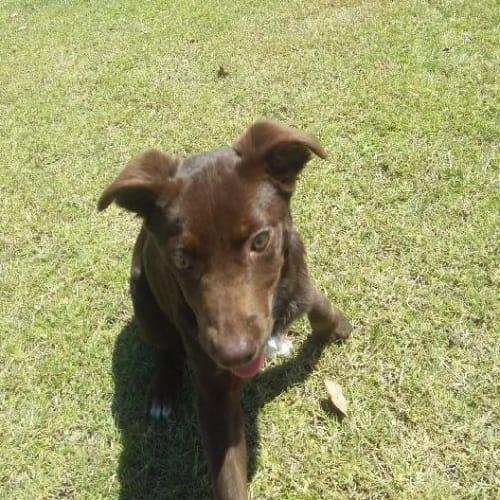 Dolly - Border Collie Dog