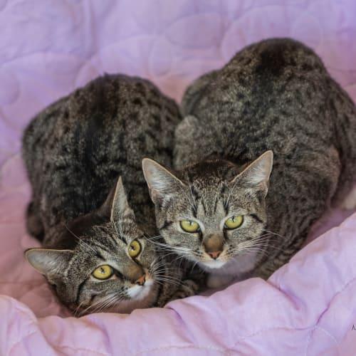 Naadira - Visit Me at PetStock Claremont! - Domestic Short Hair Cat