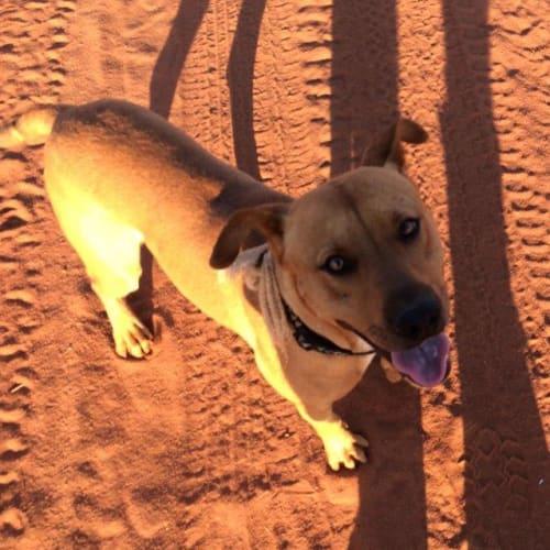 Diego - Mastiff x Staffordshire Bull Terrier Dog