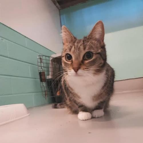 Tinkerbell - Domestic Short Hair Cat