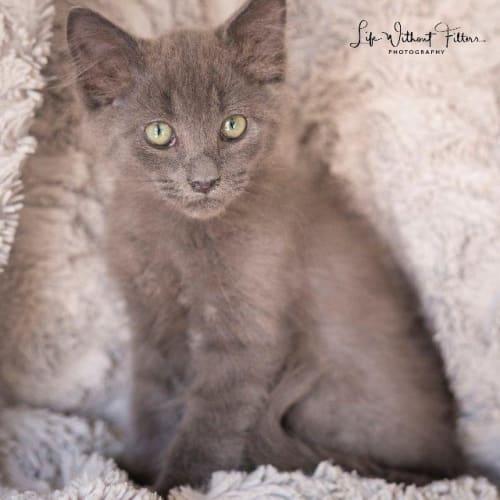 Fabian - Domestic Medium Hair Cat