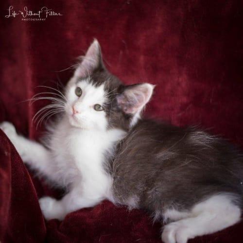 Fergus - Manx Cat