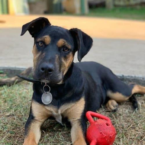 Rocky - Rottweiler x Bull Arab Dog