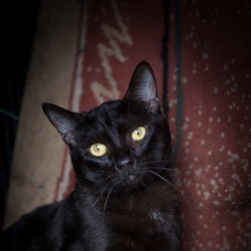 Merlin - Domestic Short Hair Cat