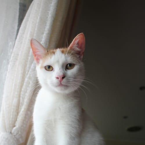 Shanley (Located in Mount Martha) - Domestic Short Hair Cat
