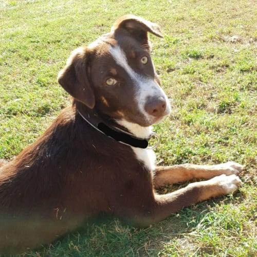 Archie - Border Collie x Koolie Dog