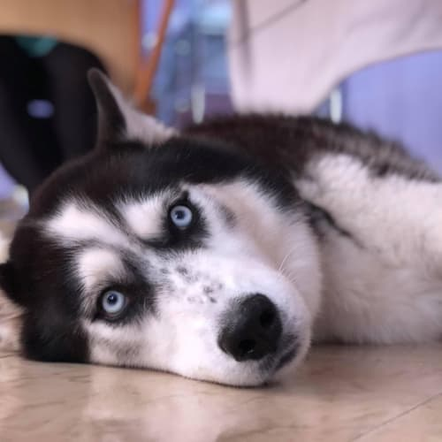 Storm & Chief - Siberian Husky Dog