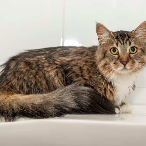 1483 – Tigger - Domestic Medium Hair Cat