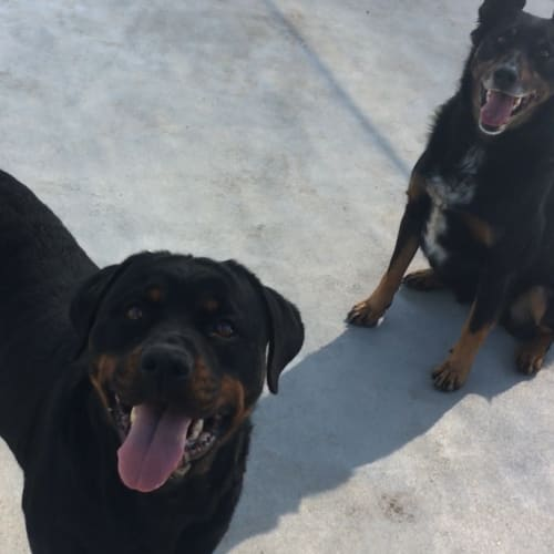 Angel and Zebul - Rottweiler Dog